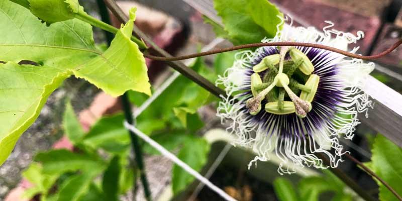 家庭果樹|パッションフルーツ|花言葉は聖なる愛