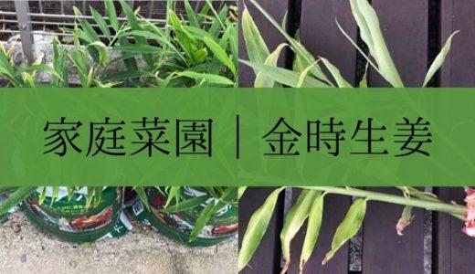 家庭菜園|簡単に生姜を育てる方法【画像あり】