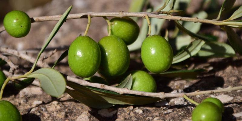 家庭果樹|オリーブ|品種:ネバティロブランコについて