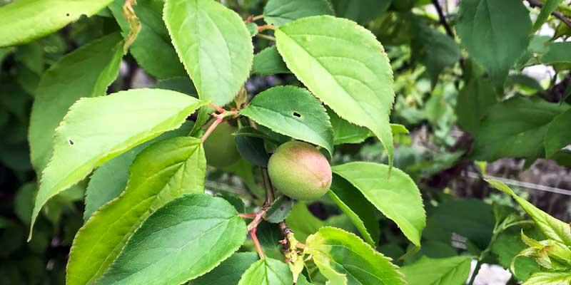 家庭果樹|梅|伐採しました