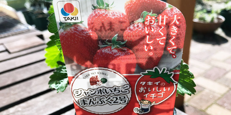 家庭菜園|イチゴ|ジャンボイチゴまんぷく2号|この冬は2種類で頑張ります