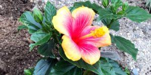 hibiscuseye