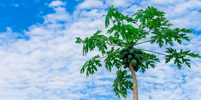 家庭果物|パパイヤ|生命力はピカイチです