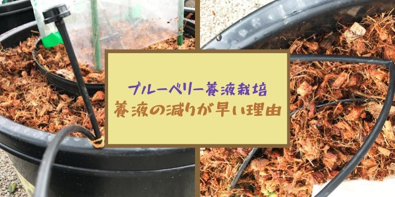 ブルーベリー養液栽培|養液の減りが早い理由
