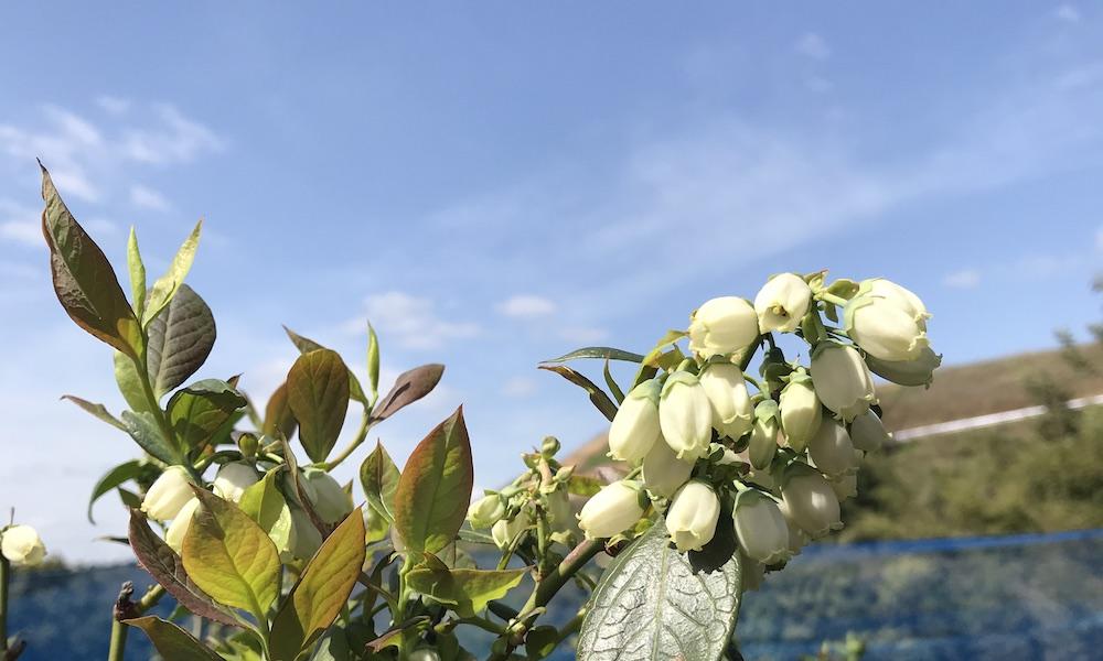 ブルーベリー狩り観光農園やブルーベリー養液栽培にかかる費用について